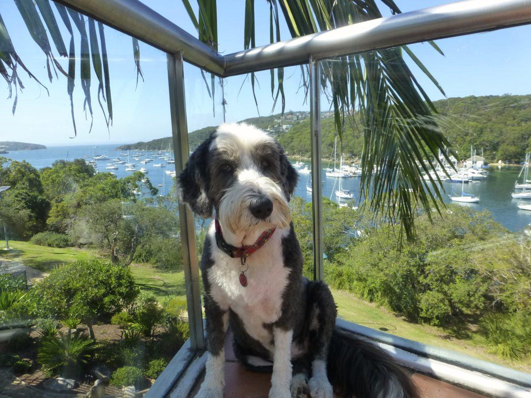Hund Housesitting Australien